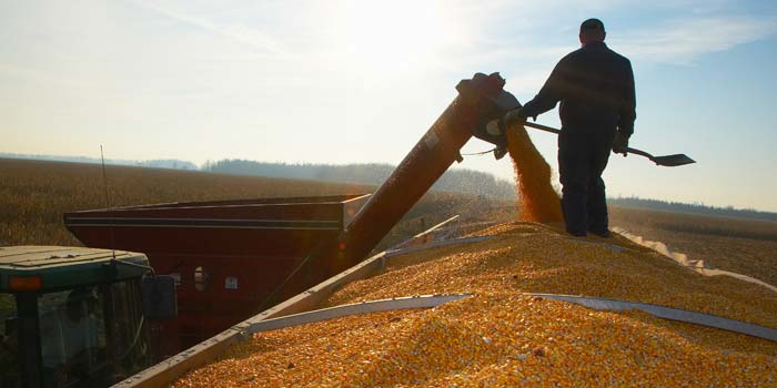 A farmer stands on top of a grain truck watching corn being poured in.