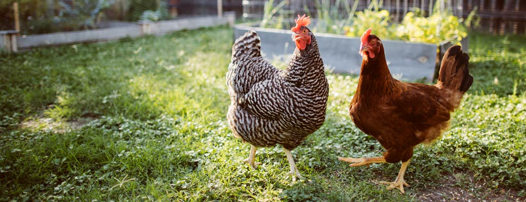Your Guide to Raising Backyard Chickens header image