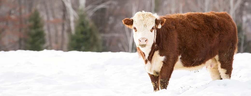 Protecting Livestock During Extreme Weather
