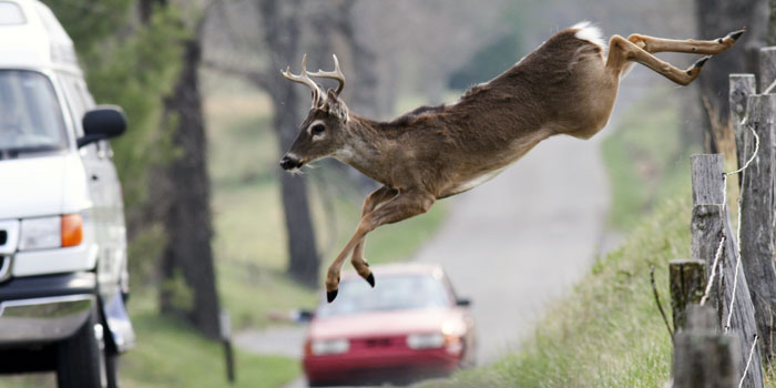 'Tis the Peak Season for Deer-Car Collisions